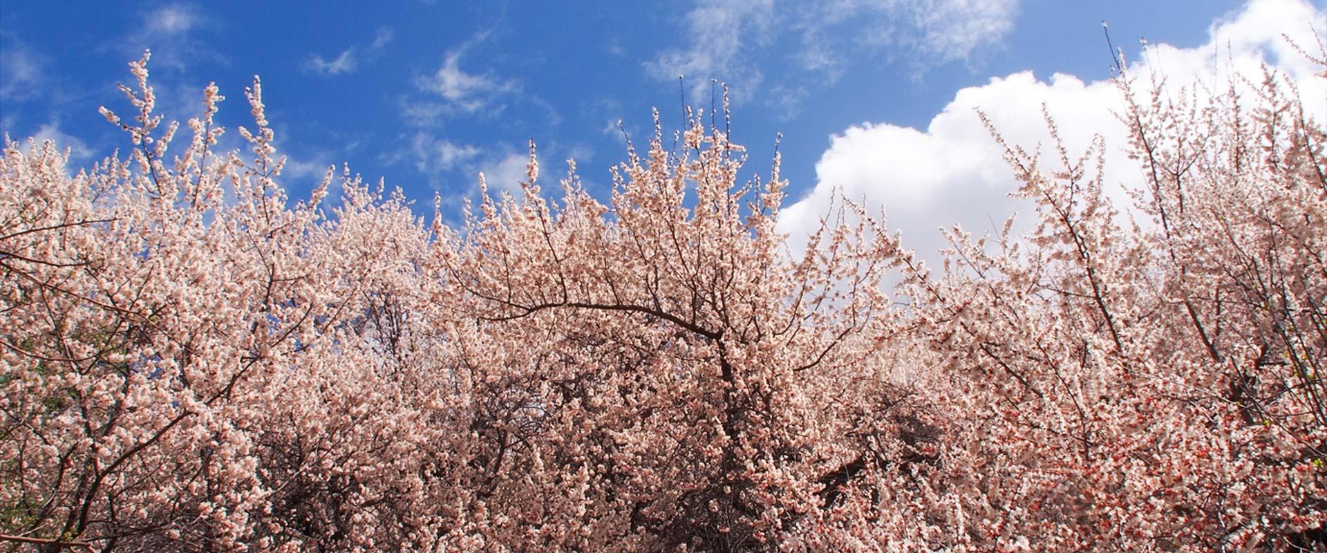春のラダック 杏のお花見を満喫する旅 2019